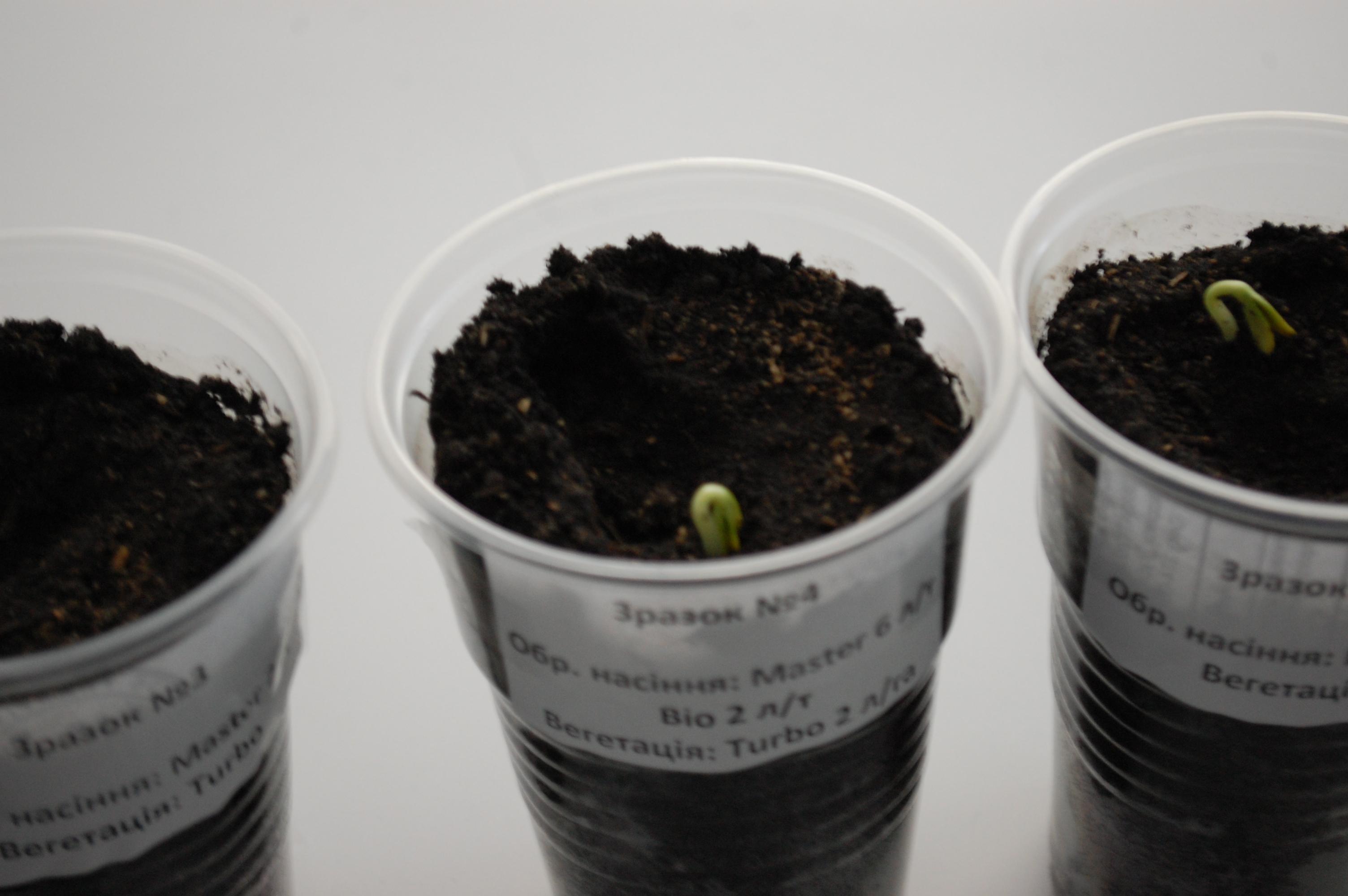 Когда сажать подсолнух в открытый грунт. Как сажать подсолнух семенами 55
